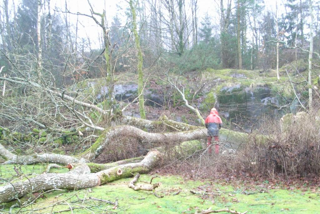 Inhyrd expert på avverkning av stora träd. De största har en diameter på 125 cm.