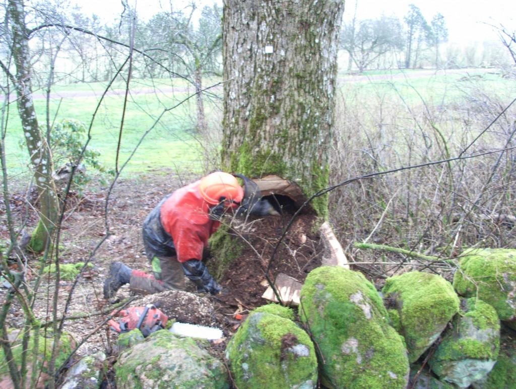 Skogskarlen upptäcker att almen är ihålig, när fällskäret har lagts.