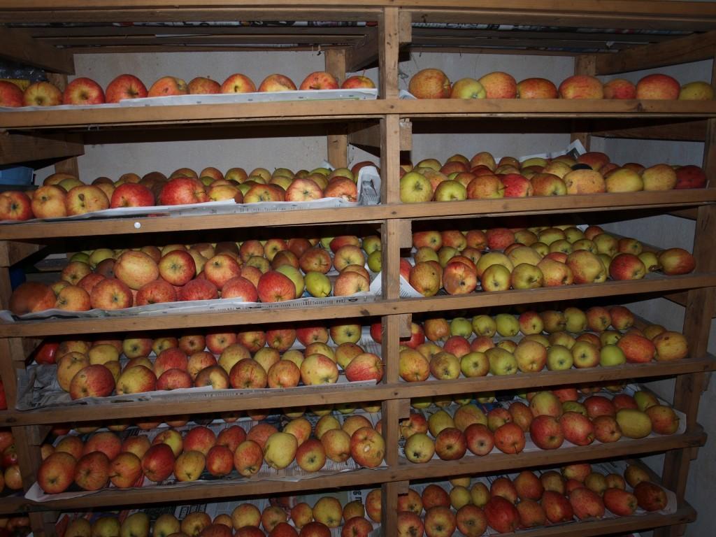 äppelskörd-2008-i-förråd