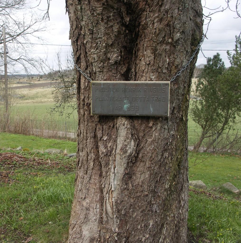Prosten Ringius-träd
